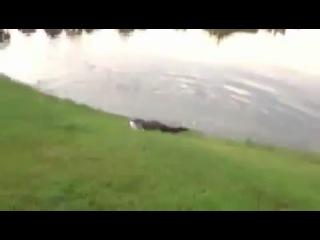 Крокодил пиздит пойманую рыбу.
